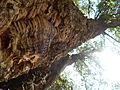 Planta de corcho.JPG