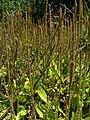 Plantago australis 2.jpg