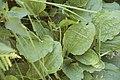 Plantago major-4366.jpg