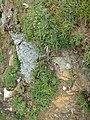 Plantago maritima plant (15).jpg