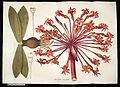 Plantarum rariorum horti caesarei Schoenbrunnensis descriptiones et icones (T. 74) BHL271942.jpg
