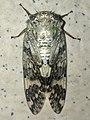 Platypleura kaempferi - 6.jpg