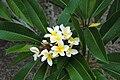 Plumeria rubra20091225-2.JPG