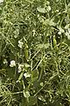 Pois d'hiver FRESNEL (précoce,jaune) Agri-Obtentions-14-cliche Jean Weber (23716015509).jpg