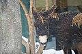 Poitou-Esel (Equus africanus asinus).jpg