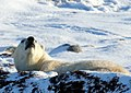 Polar bear lifts its head.jpg