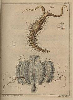 <i>Polydora ciliata</i> species of annelid
