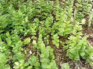 Polygonatum - Polygonatum humile