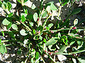 Polygonum aviculare ssp buxiforme 2.jpg
