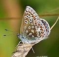 Polyommatus icarus female Common Blue (39032680694).jpg