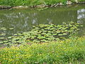 Pond with Nuphar lutea.jpg