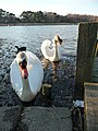 Poole , Hatch Pond Swans - geograph.org.uk - 1766224.jpg