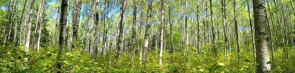 A panorama of poplars on the Loon Island trail in Riding Mountain National Park.