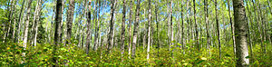 Riding Mountain National Park - A panorama of poplars on the Loon Island trail in Riding Mountain National Park.