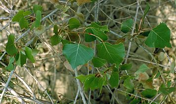 Populus deltoides monilifera foliage.jpg