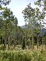 Populus tremuloides (6120521939).jpg