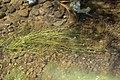 Potamogeton berchtoldii plant (02).jpg