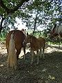 Poulain de cheval de trait, Mirabel en Ardèche 03.jpg