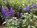 Pretty Lavenders at Cameron Lavender Garden.jpg