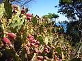 Prickly Pea Praia da Oura Albufeira 16 March 2015.JPG