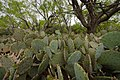 Prickly pear cactus at Stasney's Cook Ranch in Albany, Texas (24742722979).jpg