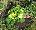 Primroses in the churchyard of St Andrew's church - geograph.org.uk - 1765710.jpg