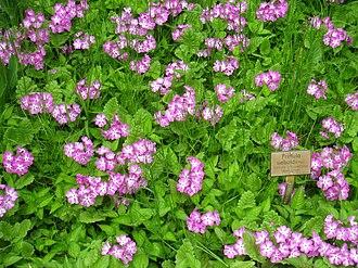 Primula sieboldii - Image: Primula sieboldii Berlin Botanical Garden IMG 8646