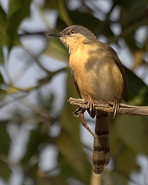 Ashy prinia - In Pune, India