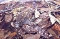 Proceratophrys boiei02.jpg
