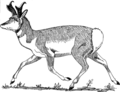 Pronghorn 2 (PSF).png