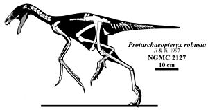 Protarchaeopteryx - Skeletal reconstruction of known material