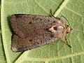 Protolampra sobrina - Cousin German - Земляная совка красноголовая (27224926028).jpg