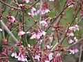 Prunus Okame - Flickr - peganum (1).jpg