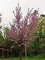 Prunus Persica in Rome 2019 - 10.jpg