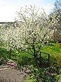Prunus avium2.jpg