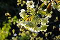 Prunus lannesiana 'Grandiflora'-Ukonzakura,ウコン桜8935.JPG
