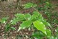 Prunus lusitanica kz02.jpg
