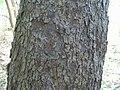 Prunus serotina 12zz.jpg