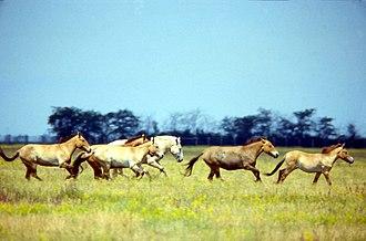 Askania-Nova - Przewalski's Horse