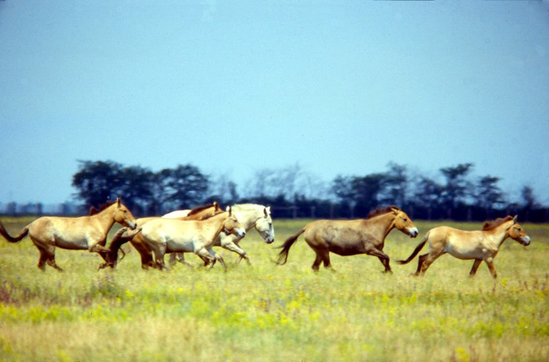 Przewalski's Horse Askania Nova.jpg