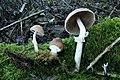 Psathyrella longistriata (Murrill) A.H. Sm 284822.jpg