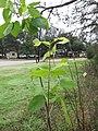 Ptelea Trifoliata (Hoptree, Wafer Ash) - panoramio.jpg