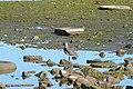 Puerto Natales – puerto, tero (čejka jižní).jpg
