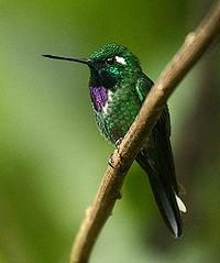 Purple-bibbed Whitetip (Urosticte benjamini)