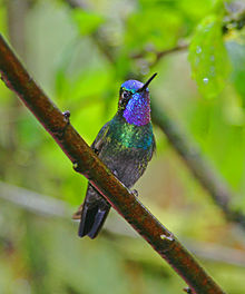 77594b9ac4 Purple-throated mountaingem - Wikipedia