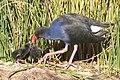 Purple Swamphen chicks.jpg