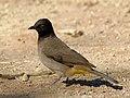 Pycnonotus nigricans.jpg