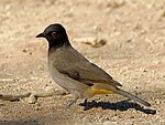 An African Red-eyed Bulbul, at Sossusvlei in the Namib desert, Namibia