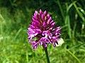 Pyramidal Orchid (Anacamptis pyramidalis) (9268742012).jpg