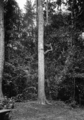 Queensland State Archives 1288 Jackie Cattle Camp an aboriginal climbing a tree in Mr Englishs Jungle at Malanda NQ c 1935.png